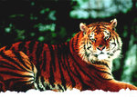 Siberian Tiger Snow - Living In The Wild Mini A2 Paper Poster