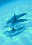 Dolphins Paradise - 3 Dolphins In The Deep Blue Sea Mini A2 Paper Poster