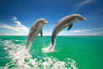 2 Dolphins Leaping, Green Waters - Maxi Paper Poster