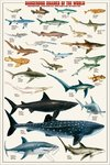 Dangerous Sharks Of the World - Maxi Paper Poster