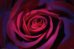 Dark Purple Rose, Bi-Colour - Maxi Paper Poster