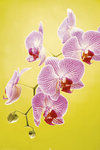 Pink Orchid - Maxi Paper Poster
