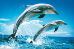 2 Dolphins Jumping, Splash - Maxi Paper Poster
