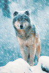 Grey Wolf Snow - Maxi Paper Poster