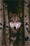 Grey Wolf, Woodland - Maxi Paper Poster