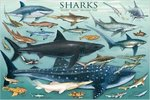Sharks Chart - Maxi Paper Poster