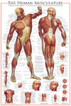 The Human Musculature - Maxi Paper Poster