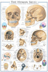 The Skull - Maxi Paper Poster